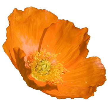 California state flower clipart library California poppy clip art - ClipartFest library