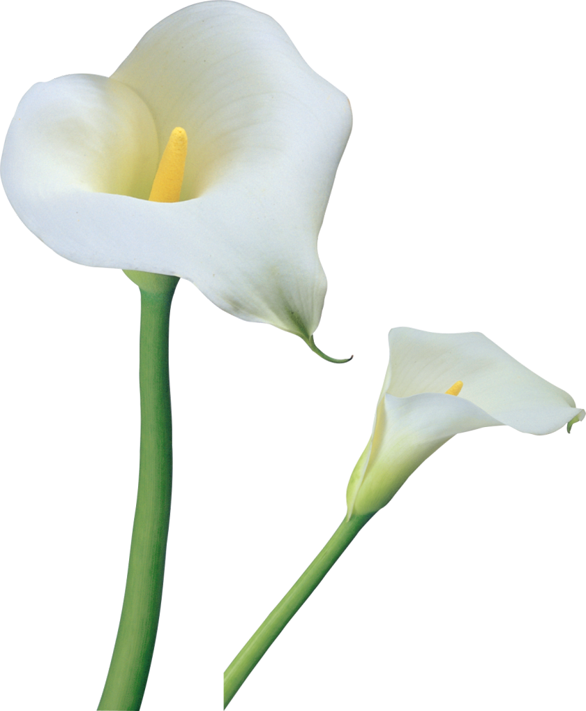 Calla lily clipart clip art library Transparent Calla Lilies Flowers PNG Clipart | Gallery ... clip art library