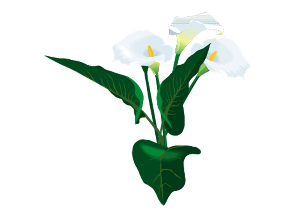 Calla lily clipart clipart free library Free Calla Lily Pics, Download Free Clip Art, Free Clip Art on ... clipart free library