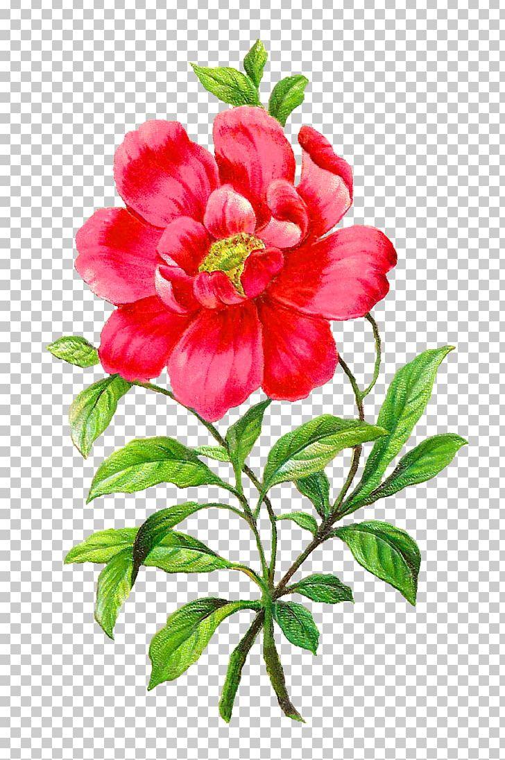 Camella clipart image transparent Flower Camellia Petal PNG, Clipart, Annual Plant, Azalea, Botanical ... image transparent