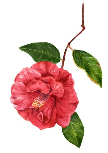 Camella clipart clip royalty free download Vintage Style Watercolor Drawing of Beautiful Red Camellia premium ... clip royalty free download