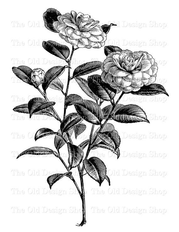 Camella clipart image stock Flower Clip Art Camellia Japonica Winter Rose Illustration Printable ... image stock