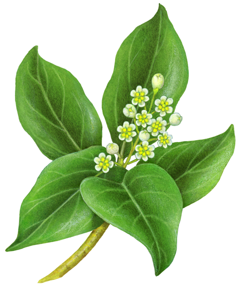 Camphor clipart image free download Camphor plant with leaves and flowers. | Medicinal and Fragrance ... image free download