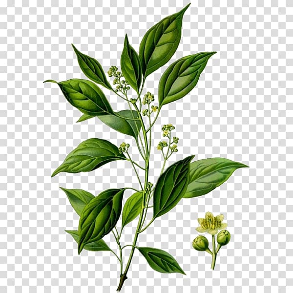 Oil plant clipart svg library stock Ravensara aromatica Essential oil Plant Camphor tree, marines ... svg library stock