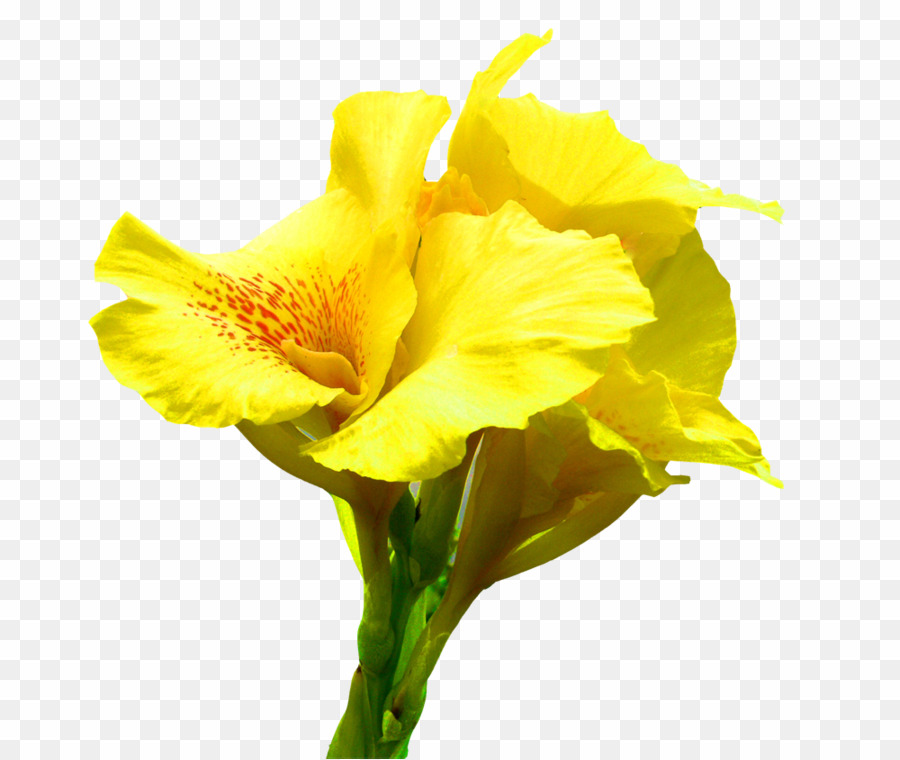 Canna clipart jpg free stock Canna Flower PNG Edible Canna Lily Clipart download - 1000 * 843 ... jpg free stock