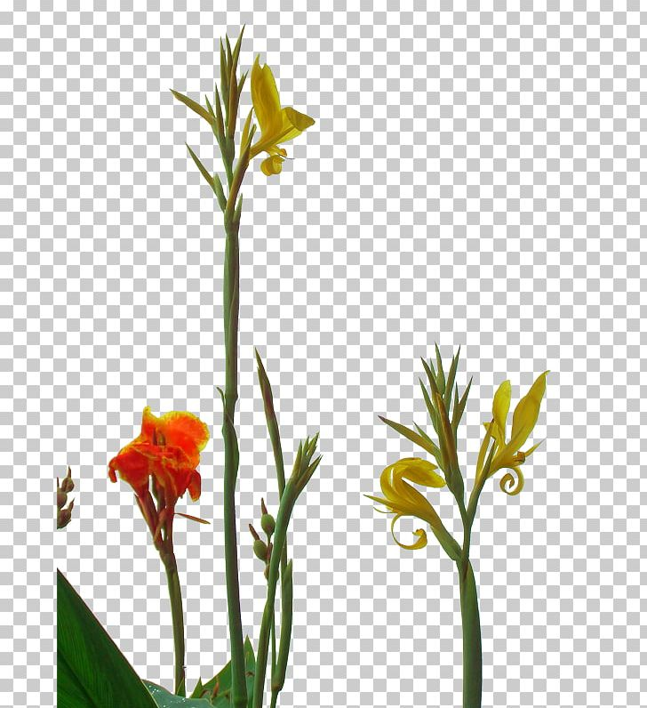 Canna clipart vector royalty free stock Canna Indica Flower PNG, Clipart, Beautiful, Beautiful Flowers, Big ... vector royalty free stock