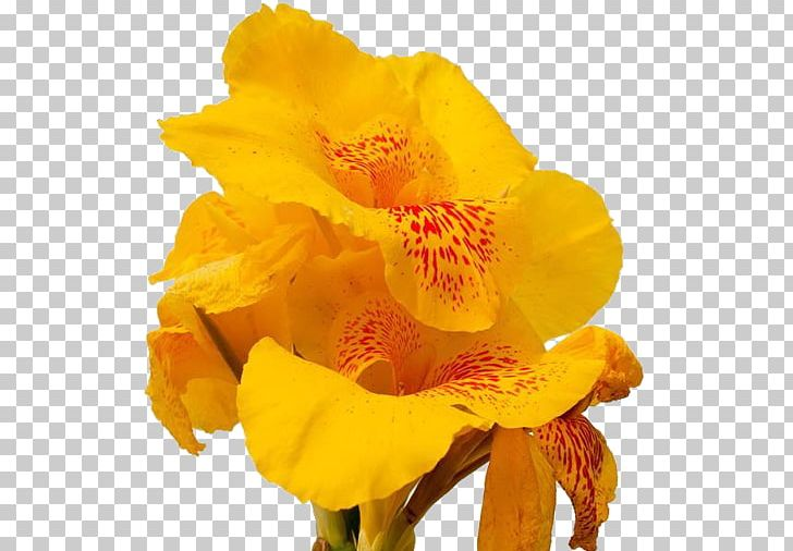Canna clipart freeuse stock Canna Flower Euclidean PNG, Clipart, Amaryllis Family, Big, Big ... freeuse stock