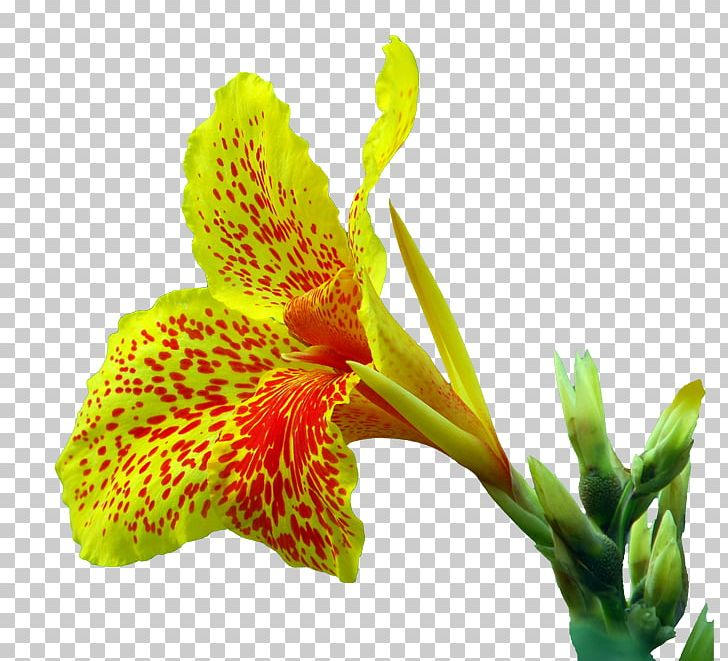 Canna clipart png free stock Canna Indica Flower Euclidean PNG, Clipart, Alstroemeriaceae ... png free stock