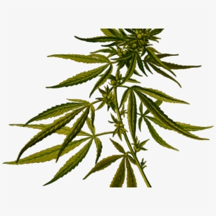 Cannabis flower clipart banner library library Weed Clipart Flower - Cannabis Sativa Botanical Illustration ... banner library library