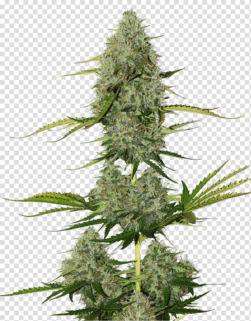 Cannabis plant clipart picture library Kush plant graphic, Seed Skunk Cannabis sativa Kush, cannabis ... picture library