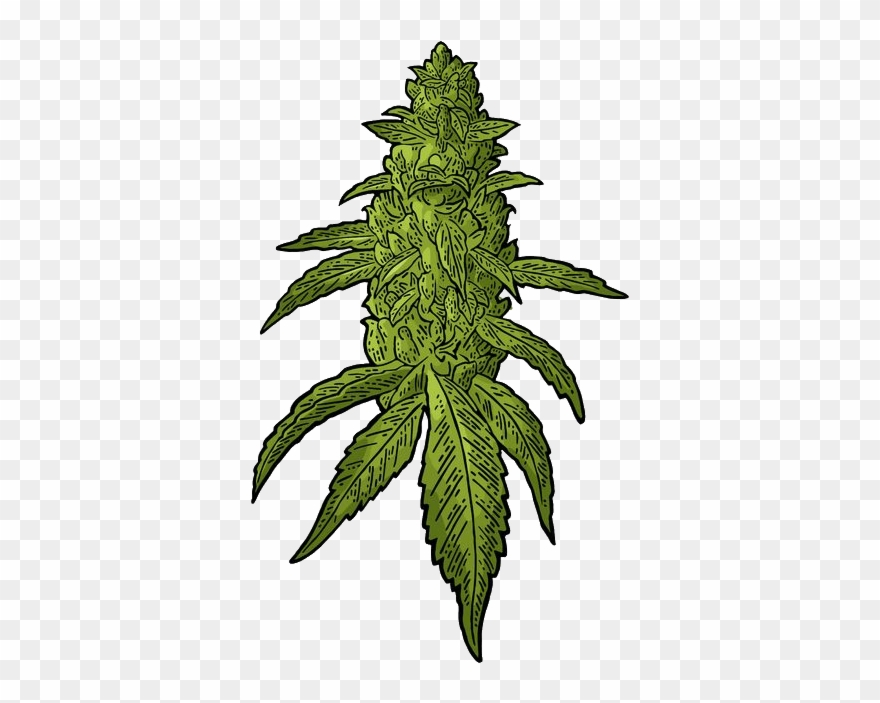 Cannibus clipart clip royalty free library Transparent Weed Download - Buds Cannabis Vector Clipart (#1761926 ... clip royalty free library