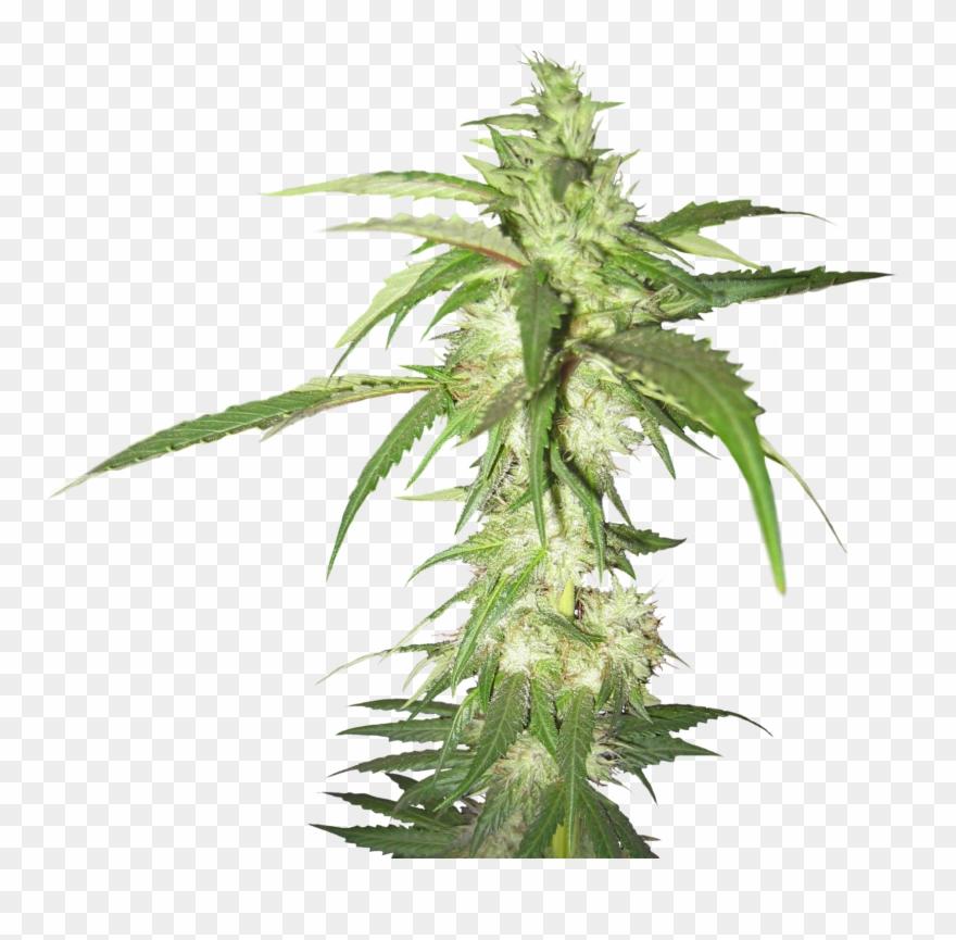 Cannabis plant clipart clip download Cannabis Png Images Free - Cannabis Plant Transparent Background ... clip download