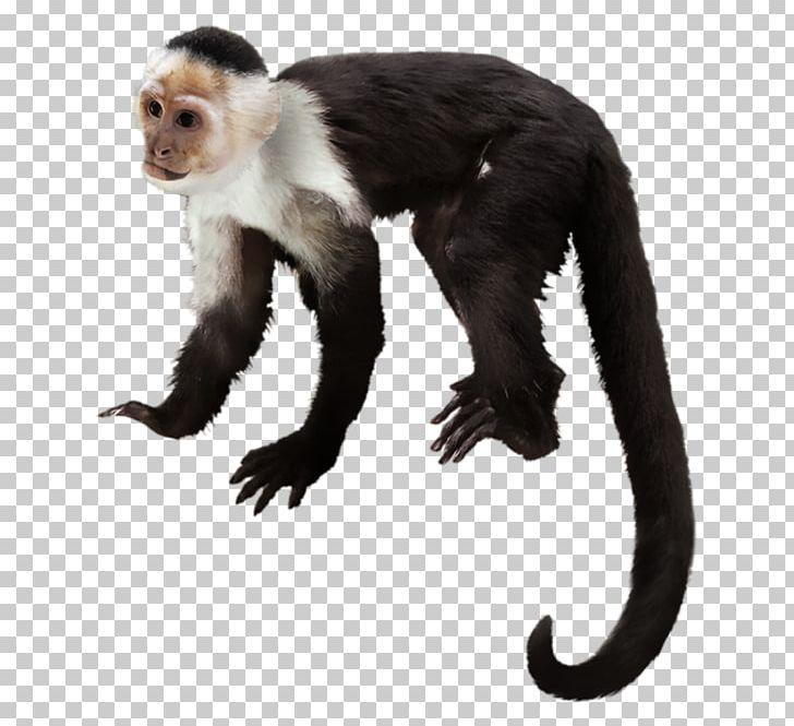Capuchin clipart png freeuse Orangutan Capuchin Monkey Macaque Gorilla Chimpanzee PNG, Clipart ... png freeuse