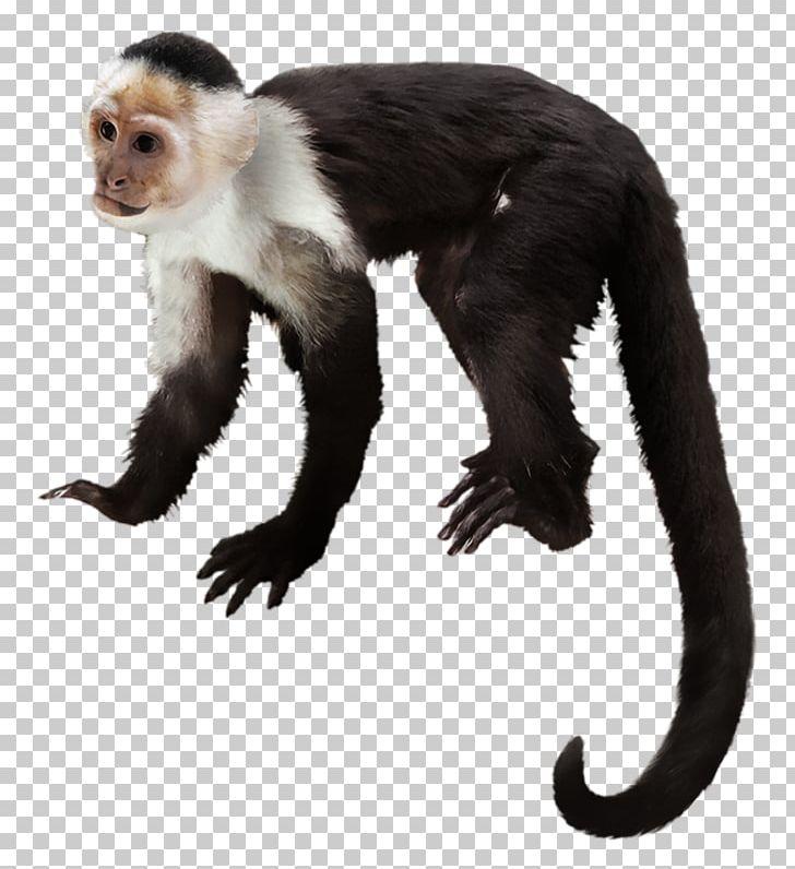 Capuchin monkey clipart jpg free download Capuchin Monkey Primate Gorilla White-headed Capuchin Chimpanzee PNG ... jpg free download