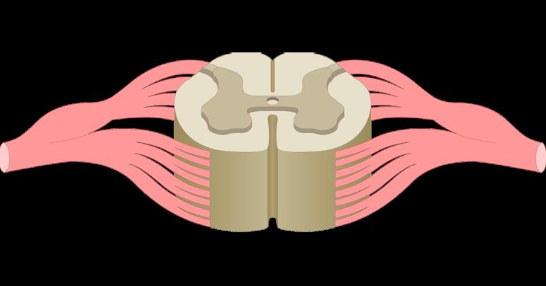 Car horn clipart image transparent Spinal Cord Gray Matter Anatomy image transparent