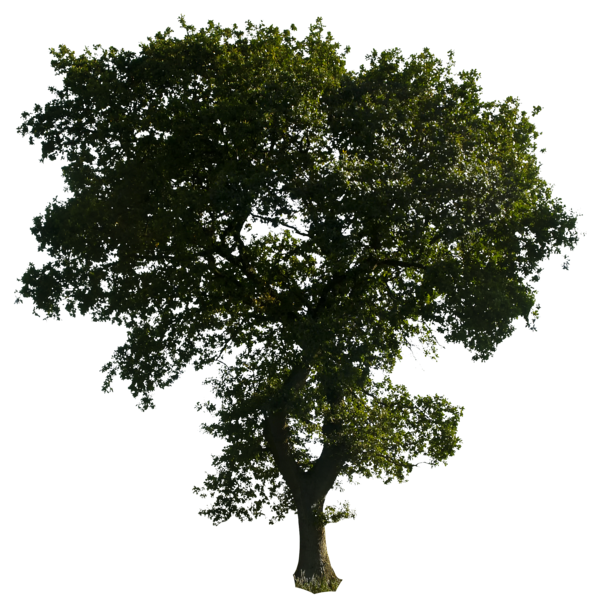 Mulberry tree clipart graphic free Tree PNG Images - Free Icons and PNG Backgrounds graphic free