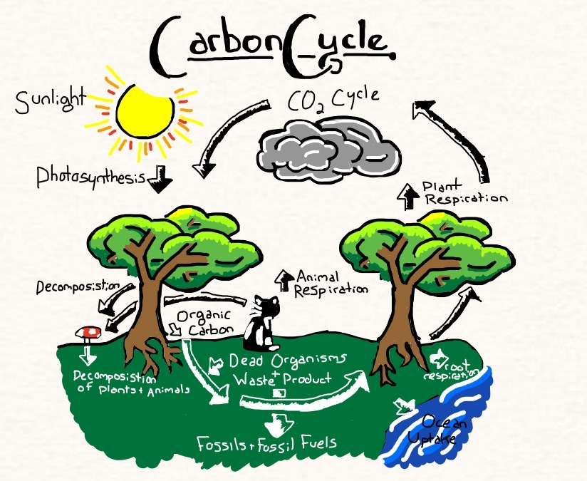 Carbon cycle clipart graphic library download carbon cycle on emaze graphic library download