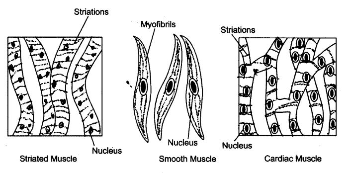 Cardiac muscle tissue clipart black and white clip art free download NCERT Solutions For Class 9 Science Tissues - CBSE Rankers clip art free download