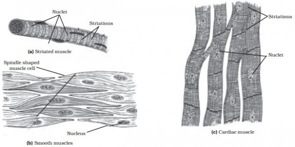 Cardiac muscle tissue clipart black and white graphic free download Tissue paintings search result at PaintingValley.com graphic free download