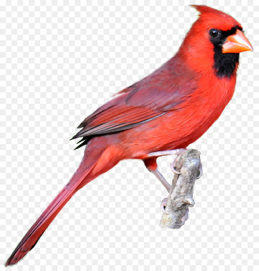 Free cardinal bird clipart image free Cardinal Bird png download - 930*965 - Free Transparent Northern ... image free