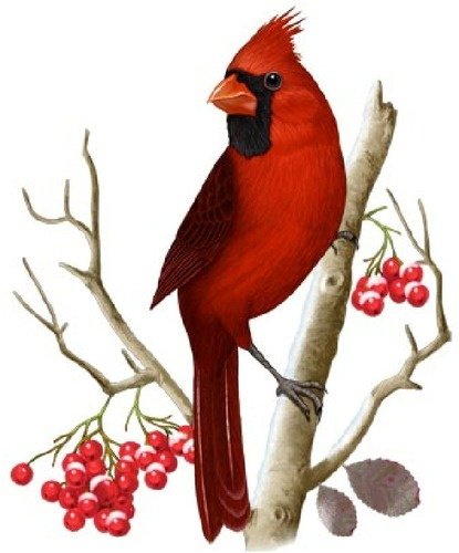 Cardinal on branch clipart picture free library Red Cardinal Bird Clip Art | Free download best Red Cardinal Bird ... picture free library