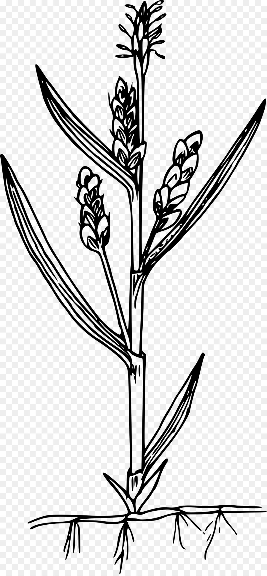 Carex aurea clipart royalty free stock Black And White Flowertransparent png image & clipart free download royalty free stock