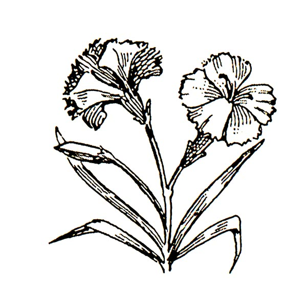 Carnation clipart black free Free Carnation Cliparts, Download Free Clip Art, Free Clip Art on ... free
