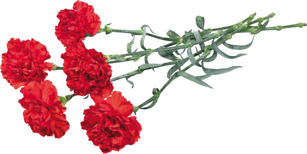 Carnation flower clipart graphic royalty free stock Ohio Carnation Flower Clip art - gazania 1280*645 transprent Png ... graphic royalty free stock