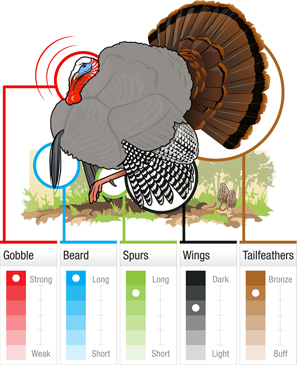 Cartoon turkey shoot clipart royalty free library Grand Slam Gobbler ID Guide royalty free library