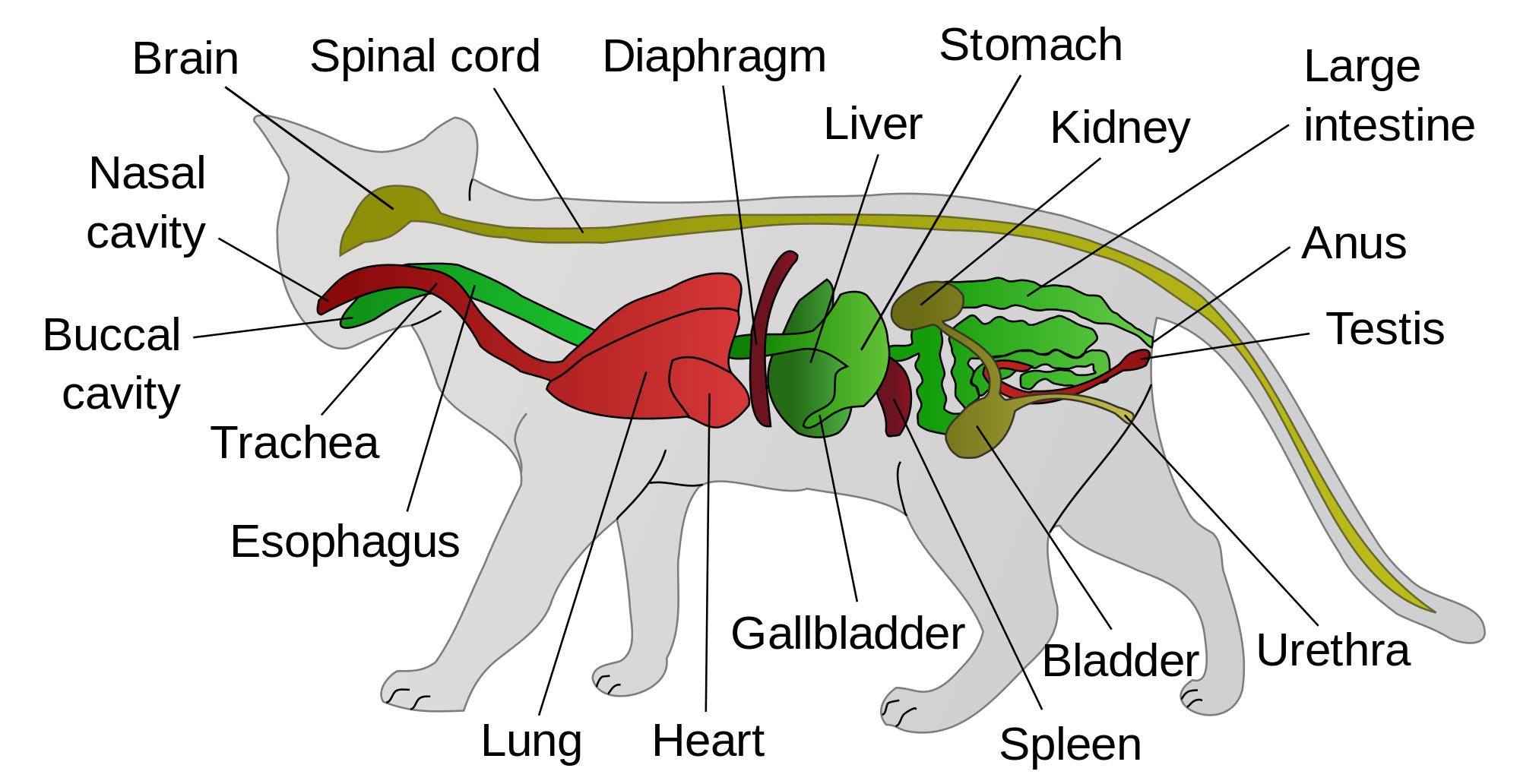 Cat anatomy clipart image freeuse download Anatomy Of A Cat Diagram – Lifeinharmony image freeuse download