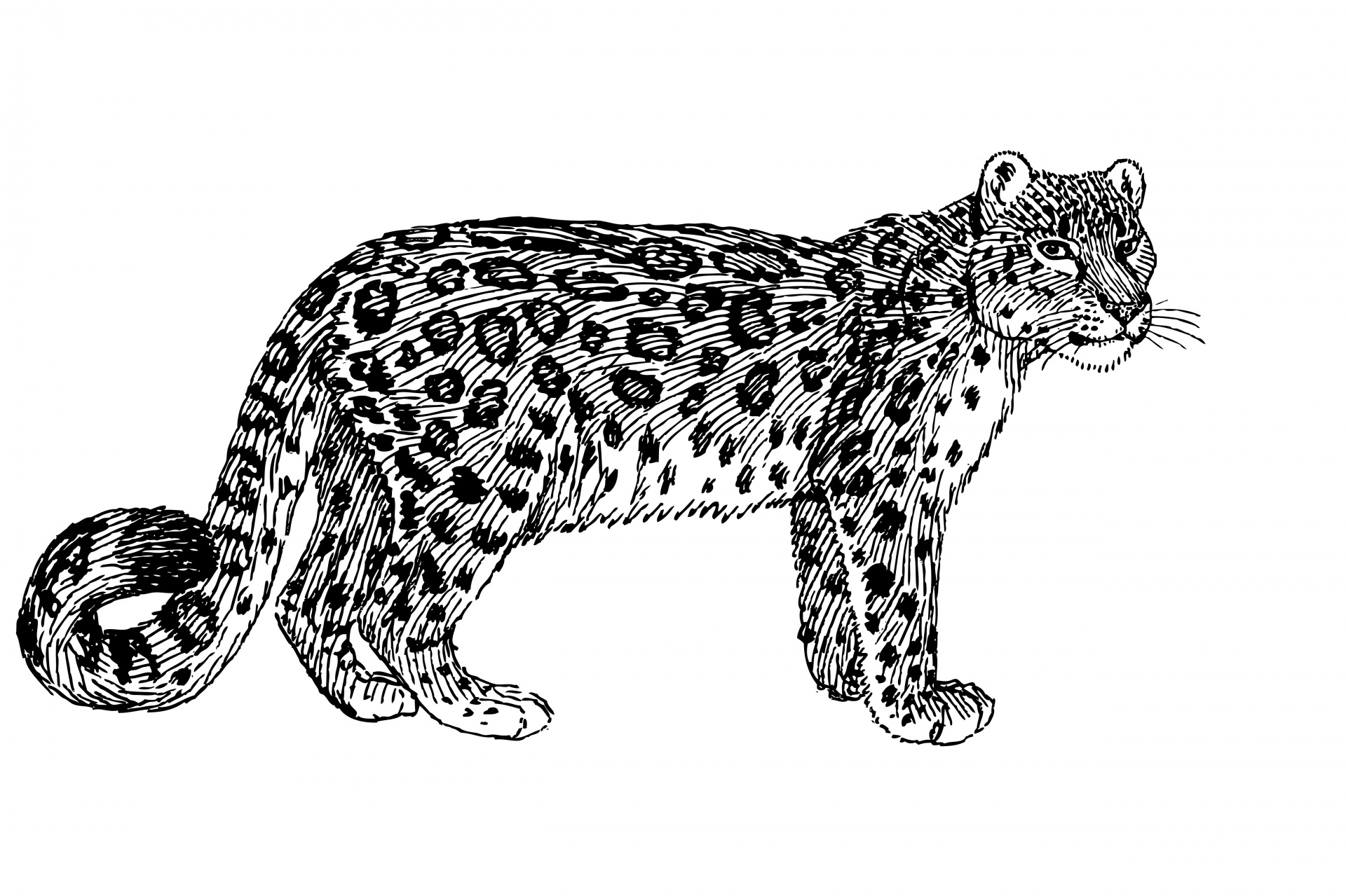 Cat in snow clipart black and white vector freeuse download Snow leopard,leopard,feline,cat,big - free photo from needpix.com vector freeuse download