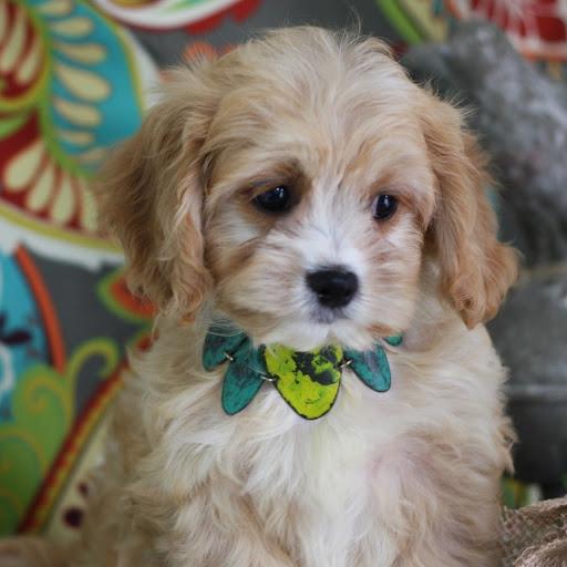 Free Cavachon Puppy Cliparts, Download Free Clip Art, Free Clip Art ... clipart royalty free