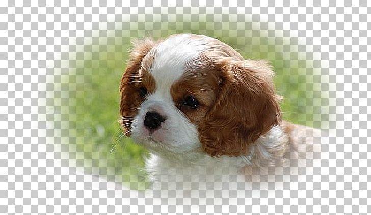 Cavalier King Charles Spaniel Cavapoo Cavachon Puppy PNG, Clipart ... clip art