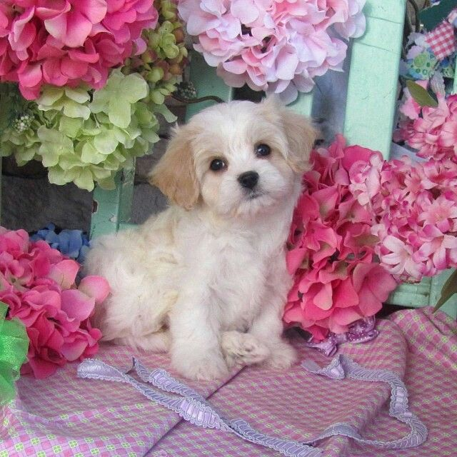 Free Cavachon Puppy Cliparts, Download Free Clip Art, Free Clip Art ... clipart royalty free stock