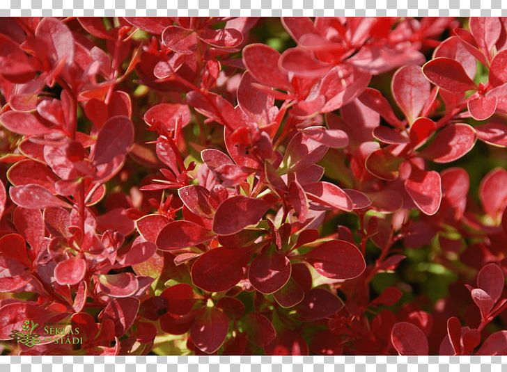 Barberry Shrub Groundcover Annual Plant PNG, Clipart, Annual Plant ... png library download
