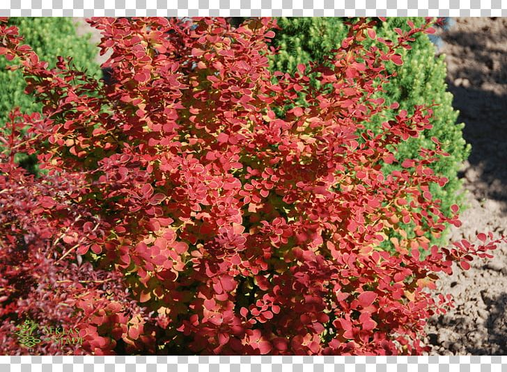 Barberry Subshrub Tree Groundcover PNG, Clipart, Annual Plant ... svg free stock