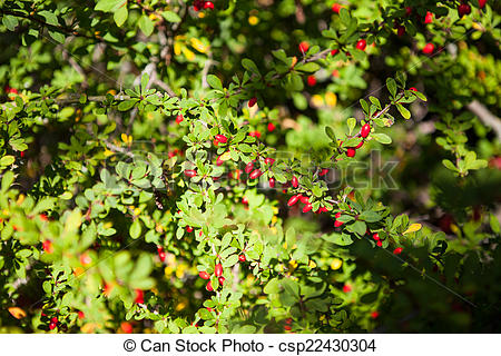 Twig of red barberry bush clip art black and white stock