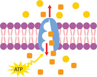 Cell membrane clipart clipart royalty free library Search Results for Membrane - Clip Art - Pictures - Graphics ... clipart royalty free library