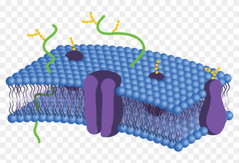 Cell membrane clipart