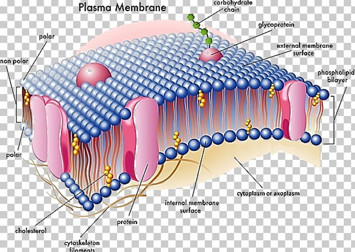 Cell membrane clipart jpg royalty free stock Cell Membrane Biological Membrane Nuclear Envelope PNG, Clipart ... jpg royalty free stock
