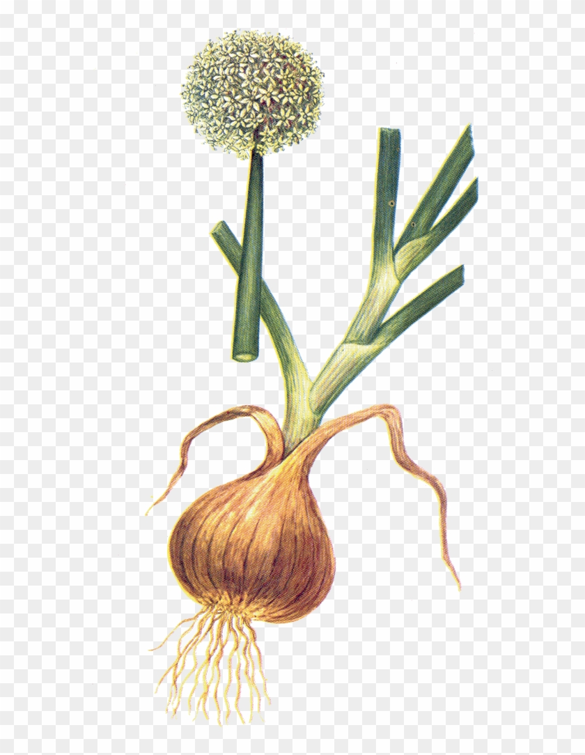 Onion - Allium Cepa, HD Png Download - 576x1003(#3709017) - PngFind clip art black and white
