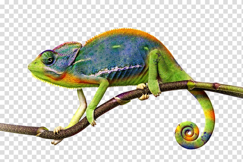 Chameleon perched on branch, Lizard Common Iguanas Veiled chameleon ... clipart free library