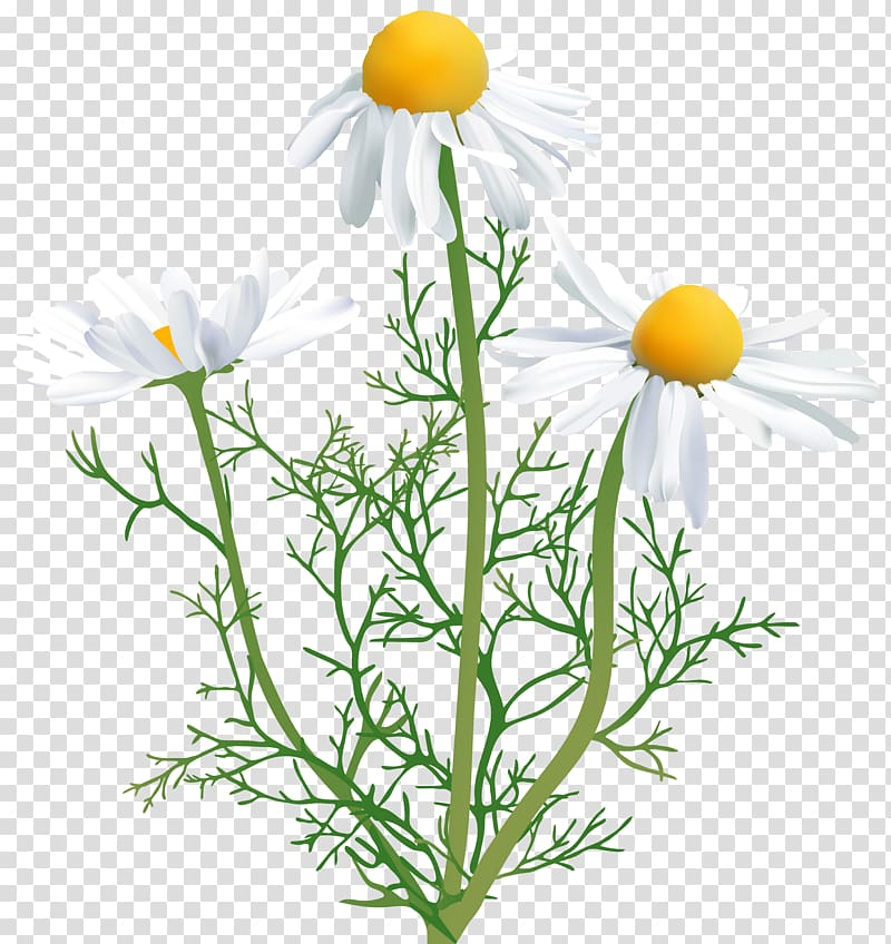 Chamomile clipart picture transparent library White chamomile flowers art, Chamomile Flower , Camomile transparent ... picture transparent library