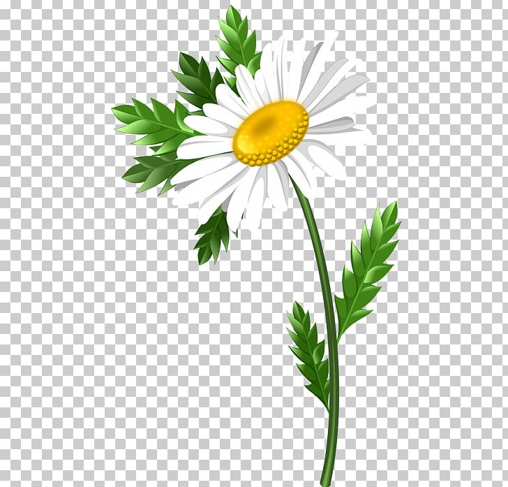 Chamomile clipart graphic transparent library Common Daisy Oxeye Daisy Marguerite Daisy Chrysanthemum Roman ... graphic transparent library