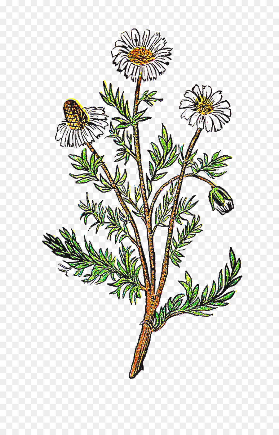 Chamomile clipart picture freeuse library Family Tree Background clipart - Flower, Daisy, Tree, transparent ... picture freeuse library