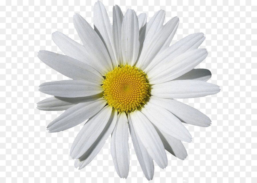 Chamomile clipart image library stock 50+ Chamomile Clipart | ClipartLook image library stock