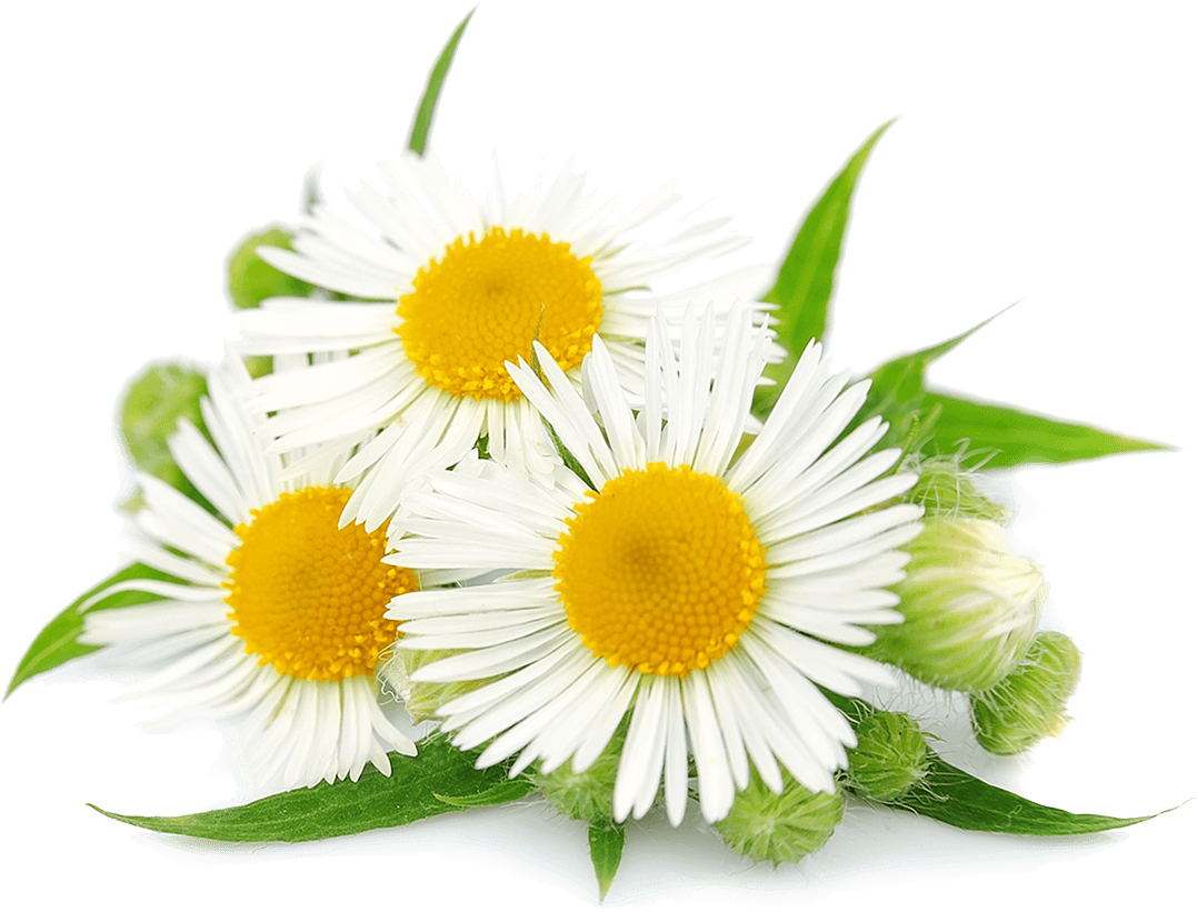 Chamomile clipart clip art royalty free Camomile-flower-free-PNG-transparent-images-free-download-clipart ... clip art royalty free