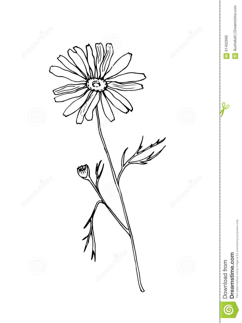 Chamomile clipart b&w image Sketch Chamomile Illustration - Download From Over 49 Million High ... image