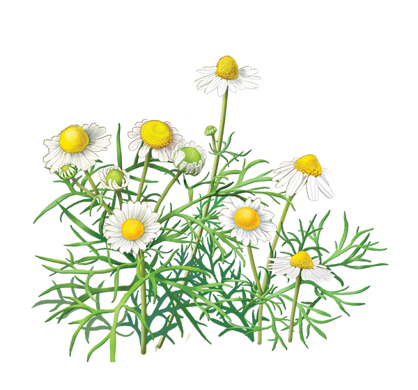 Chamomile clipart b&w graphic library stock Daisy,Flower,Oxeye daisy,chamomile,Daisy,mayweed,Plant,Petal ... graphic library stock