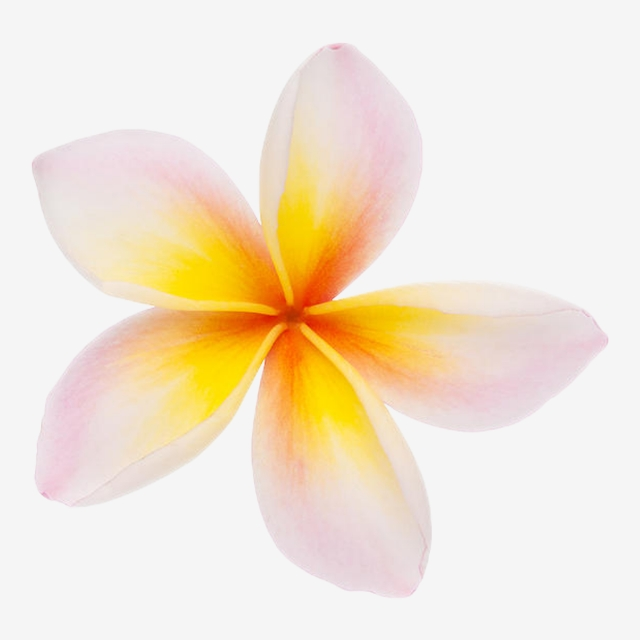 Champa Flower 3, Laos, Thai, Line PNG Transparent Clipart Image and ... graphic free stock